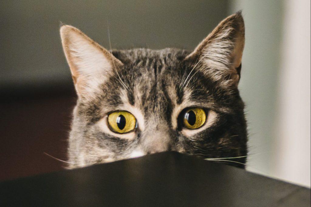 Can cats sense pregnancy?